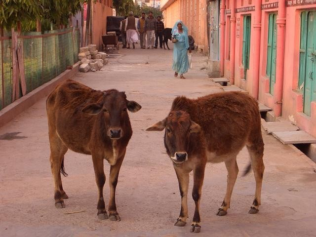Vacas transitando por la calle. [Foto Ariel Lichtig]