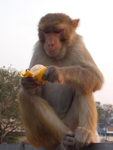 Mono preparandose una naranja que probablemente sacó de alguna casa o tienda. [Foto Ariel Lichtig]